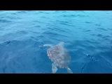 Головастая морская черепаха; Сан-Мигель, Азорские острова
